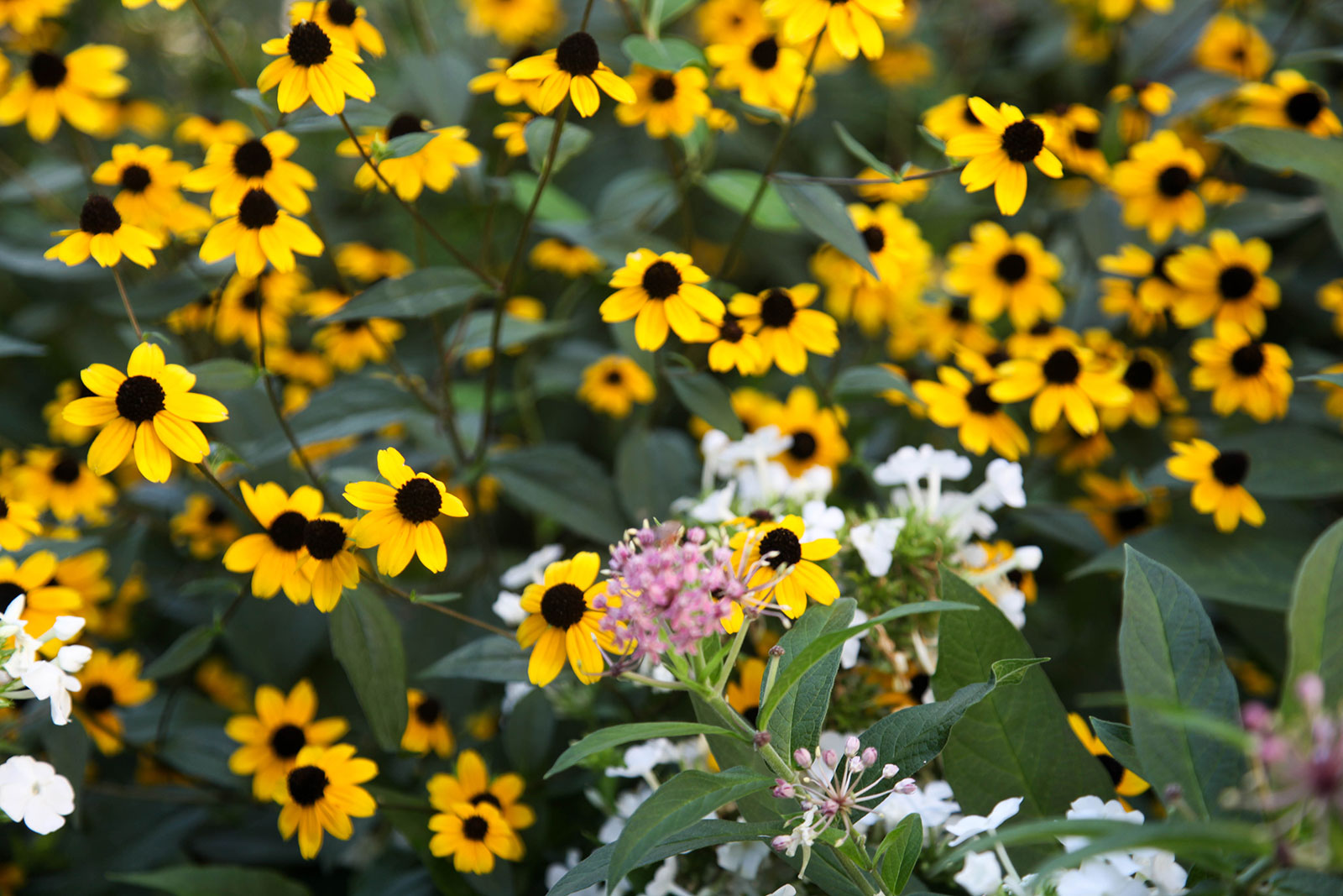 Black-eyed Susans in the garden