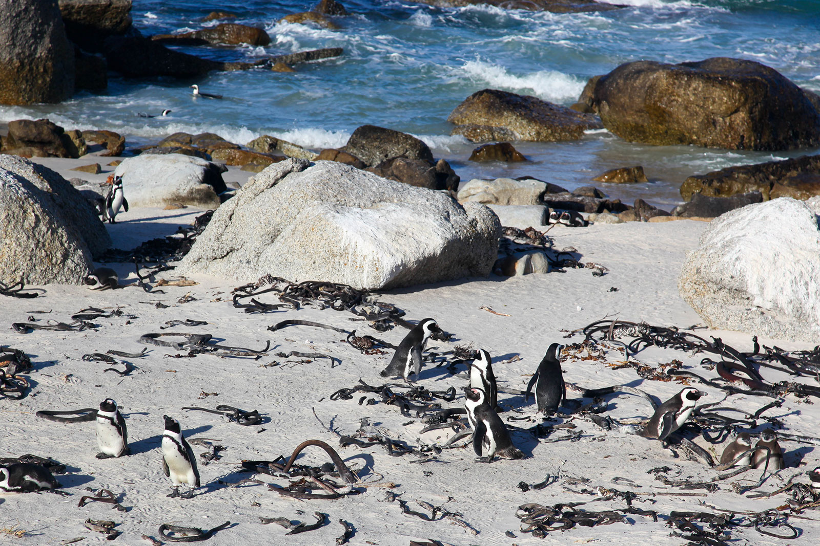 penguins in Simons Town, Cape Town