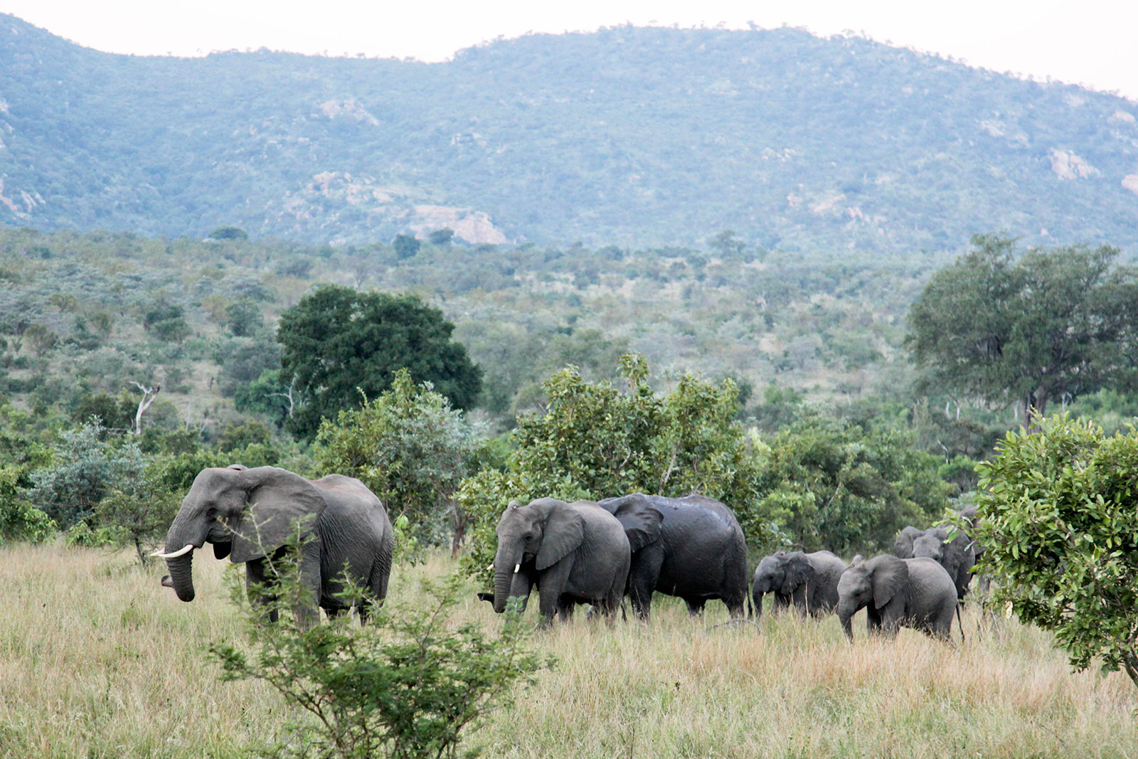 elephants in Kruger National Park, South Africa