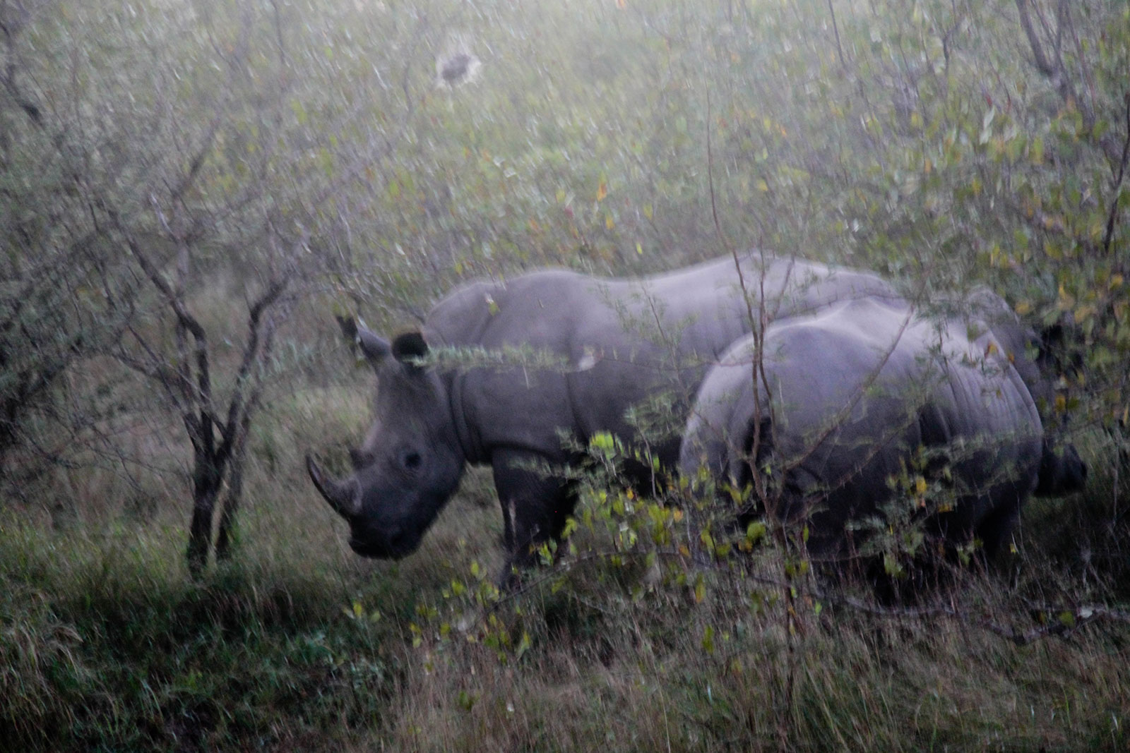 black rhino in Kruger National Park