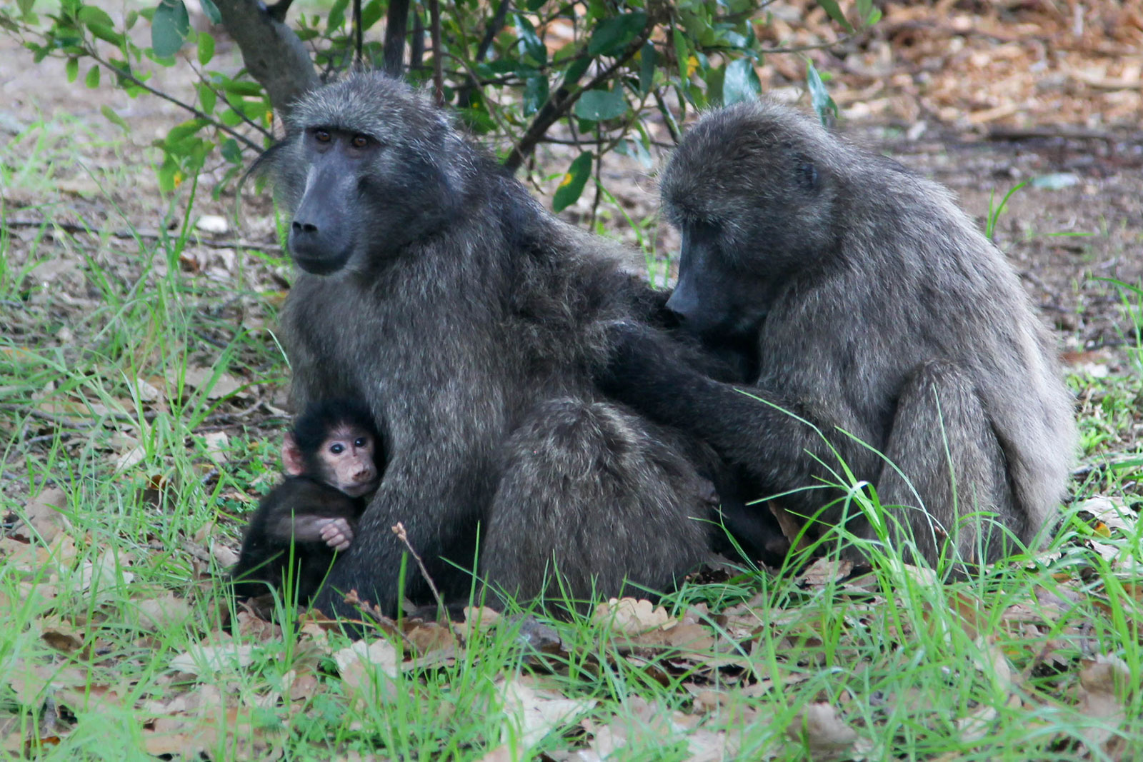 baboons in Tokai, near Cape Town